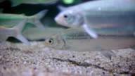 European whitefish on sand bottom video