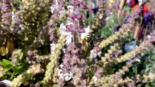 European wool carder bee on blooming basil herb. wild solitary bee. video