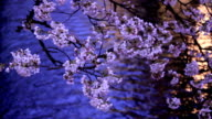Evening. Blooming Sakura in Kyoto. video