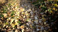 Evening in gold autumn sunny wood. Ronin m shot video