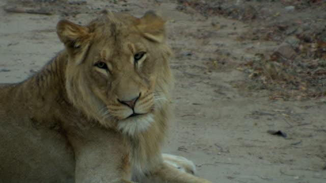 Evening Lion. video