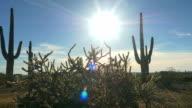 Evening sun shining through big cactus pricks in desert wilderness video