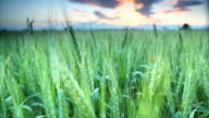 Evening wheat filed video