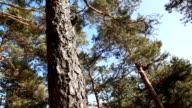 Evergreen Tree video