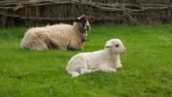 Ewe with her Lamb - Oveja con su Cordero video