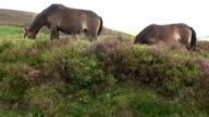 Exmoor Ponies video