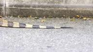 Exotic Animal Monitor Lizard Tail Dragging Bangkok Southeast Asia video