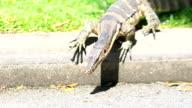Exotic Animals Thailand Monitor Lizard. Bangkok City Park video