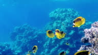 Exotic butterfly fish on a blue sea blue background. The underwater world of the Red Sea video