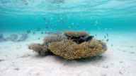 Exotic coral with shoal of Whitetail dascyllus on Maldives video
