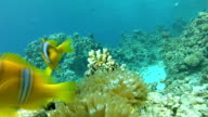 Exotic fish and coral reef video