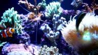 Exotic fishes and corals in Aquarium video