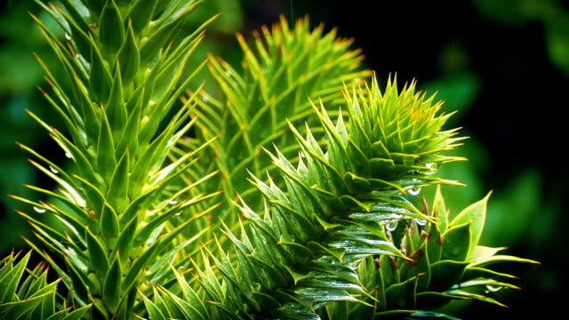 Exotic Monkey Puzzle Tree In The Rain video