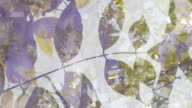 WISTERIA SINENISIS  - expanding flow from the center. (loop) video