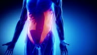 external abdominal oblique- muscular anatomy in detail video
