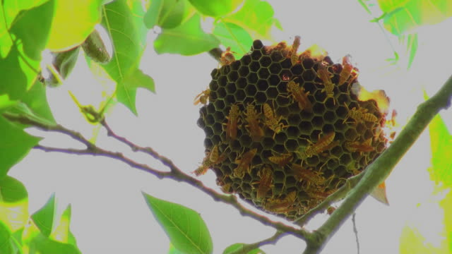 Extreme close up of some industrious wasps building their nest video