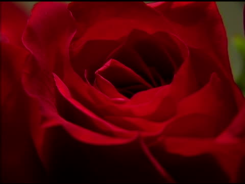 Extreme Close Up Red Rose video