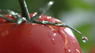 Extreme close-up of water drip on tomato in slow motion video