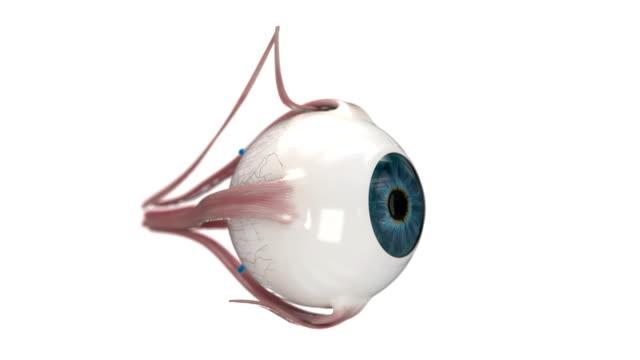Eye anatomy on white background. video