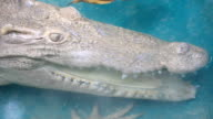 eye of crocodile ,albino video