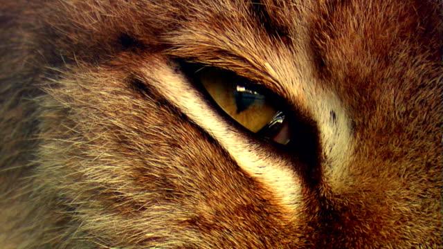 Eye of lynx video