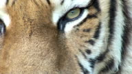 Eye of tiger video