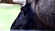 Eyes of the black moose skin video