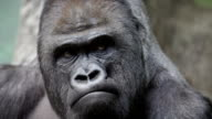 Facial gesture and face caring of a gorilla male, severe silverback. video