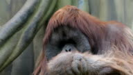 Facial gesture and yawning of an orangutan male, expressive great ape with amazing cheeks. video