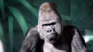 Facial gesture of a gorilla male, severe silverback. video