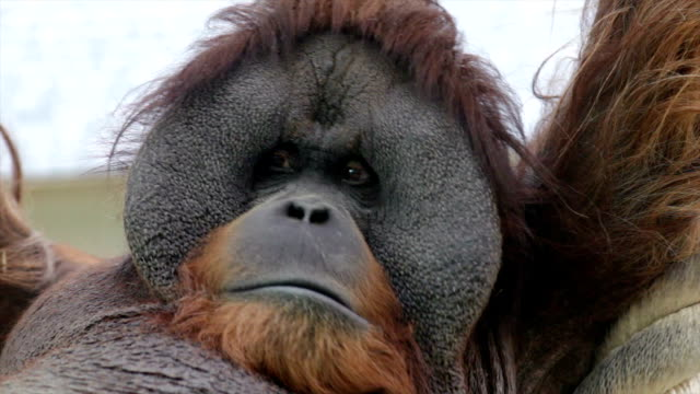 Facial gesture of an orangutan male, expressive great ape with amazing cheeks. video