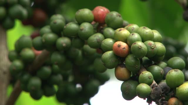 Fairtrade coffee beans at coffee-plantation in Ecuador video