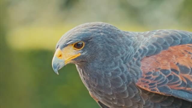 Falcon turns his head video