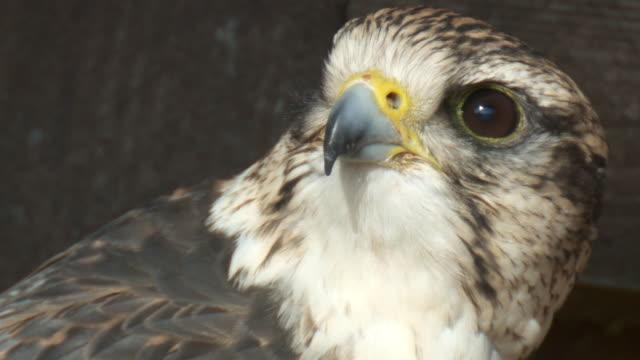 falcon video