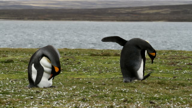 Falkland Islands: 2 King Penguins video