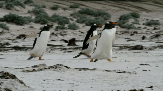 Falkland Islands: Gentoo Penguins walking in a row on the beach video