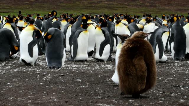 Falkland Islands: King Penguin colony on Volunteer Point video
