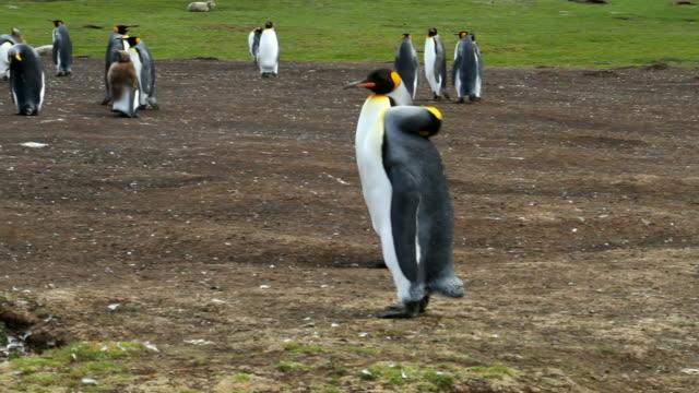 Falkland Islands: King Penguin Colony video