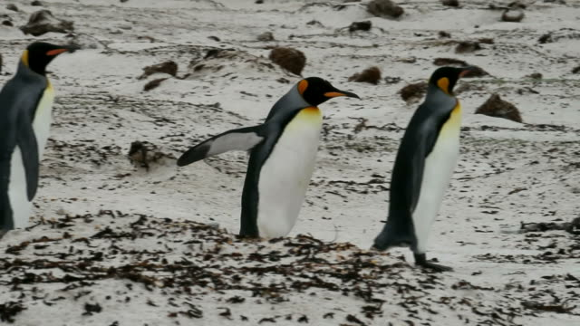 Falkland Islands: King Penguins walking in a row video