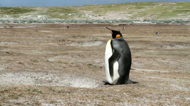 Falkland Islands: Lonely King Penguin video