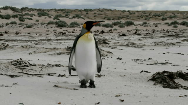 Falkland Islands: Lonely King Penguin walks on the beach video
