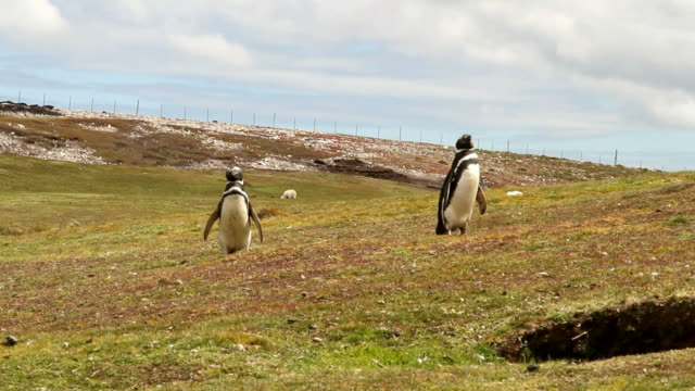 Falkland Islands: Magellanic Penguins video
