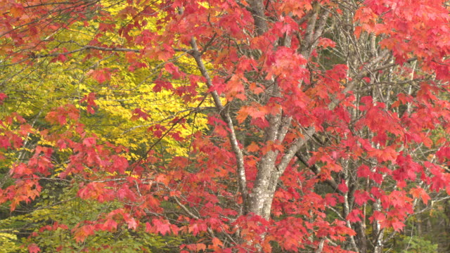 SLOW MOTION: Fall foliage leaves on maple tree moving gently in autumn wind video