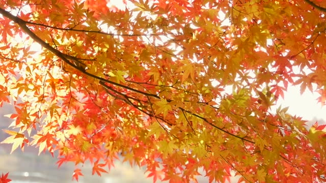 Fall foliage: Water reflection on colored maple leaves video