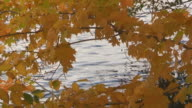 Fall Leaves by Rippling Water video