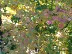 Fall Leaves, Slow Pan video