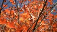 Fall maple leaf. video