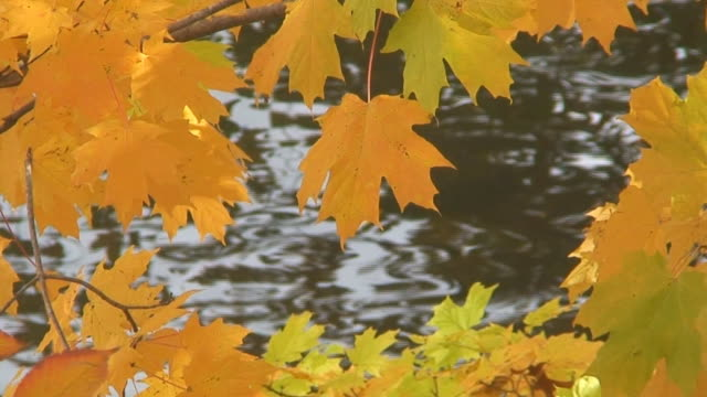 Fall Maple Leaves Over Rippling Water video