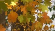 Fall Maple Leaves Tilt Down video