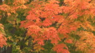 Fall Maple Tree Closeup video
